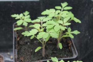 Tomatensämlinge, ca 2-3 Wochen alt zum Veredeln
