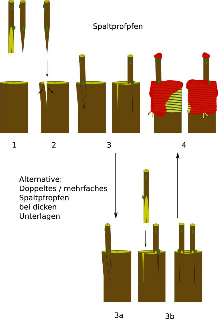 Schematische Darstellung Spaltpfropfen